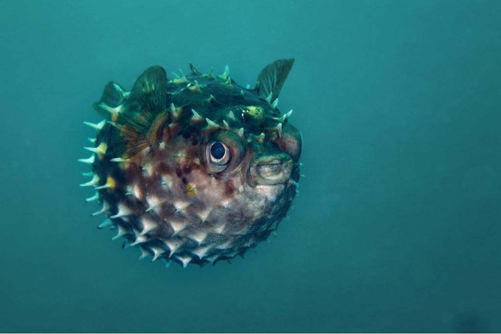 A blown blowfish